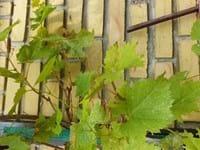 Brown blotches on a vine