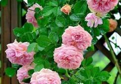 Rosen im Gewächshaus